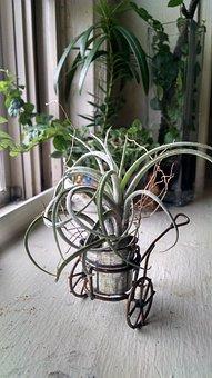 Tillandsia, Indoor Plant, Indoor, Decor, Bromeliaceae