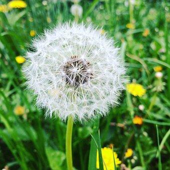 Dandelion, Summer, Green, Nature, Flower, Plant, Grass