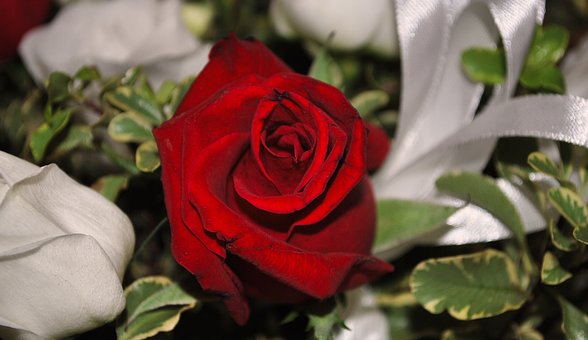 Rosa, Red Rose, Flower, White Flowers, Marriage