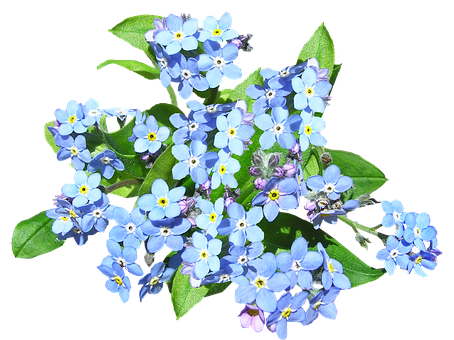 Blue Flowers, Forget Me Not, Plant