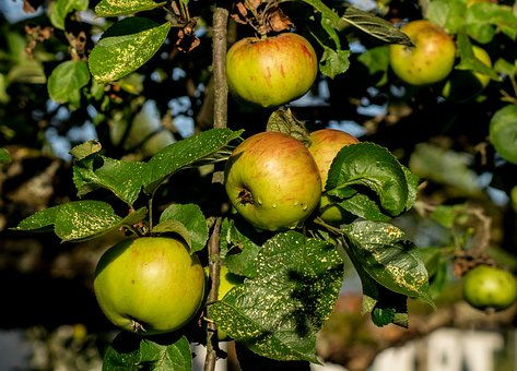Apple, Ripe, Apple Tree, Fruit, Vitamins, Frisch