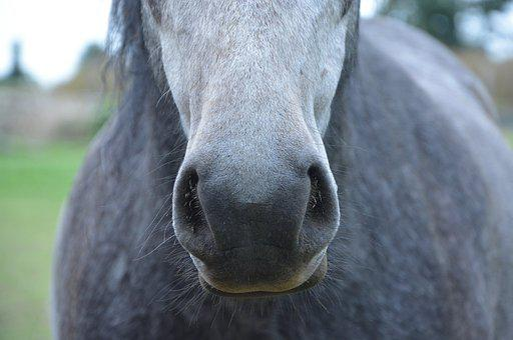 Horse, Nostrils, Snout, Chamfer, Horseback Riding