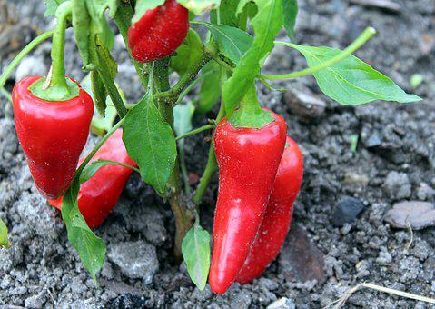 Paprika, The Cultivation Of, A Vegetable, Red, Food
