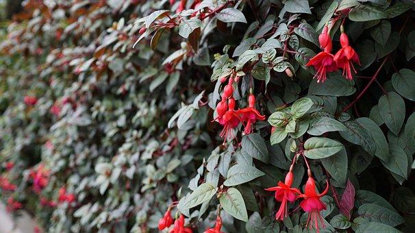 Flower, Plant, Plant Wall, Hedge, Firecracker Flower