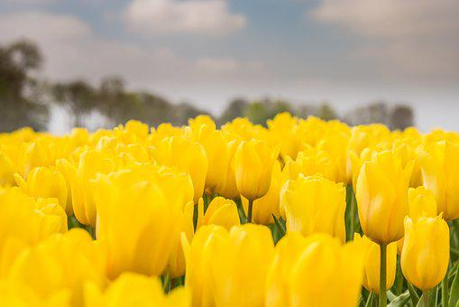 Tulips, Dutch, Yellow, Field, Spring, Netherlands