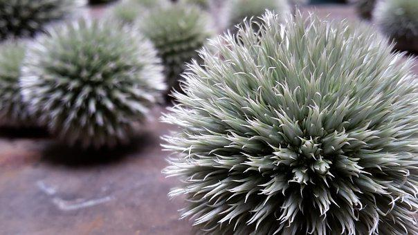 Thistle, Spur, Sting, Prickly
