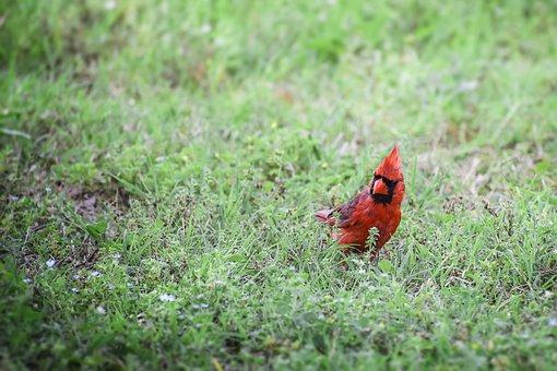 Cardinal, Animal, Bird, Fly, Flying, Walk, Walking