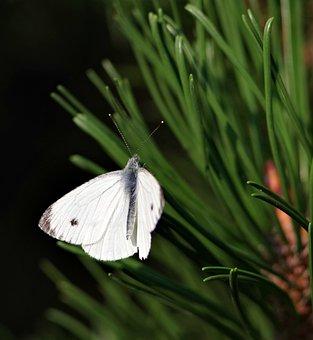 Butterfly, Pieris Brassicae, Pine, Needles, Forest