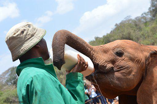 Feeding, Baby, Elephants, At, The, Daphne, Sheldrick