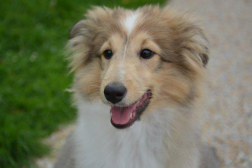 Dog, Pup, Portrait, Shetland Sheepdog, Animal