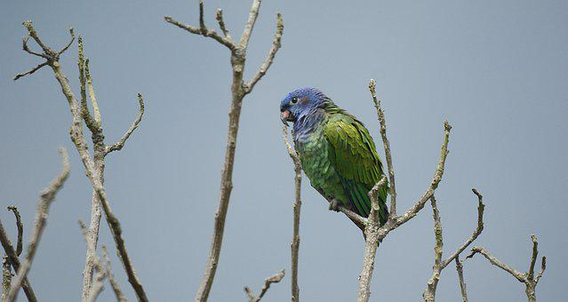 Ave, Green Parrot, Fauna, Animal Exotic, Colombia