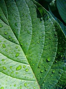 Leaf, Green, Plant, Leaves, Green Leaf, Rain, Raindrop