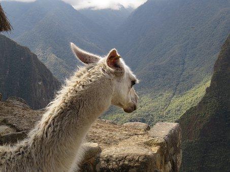 Lama, Machu Picchu, Peru, Wink