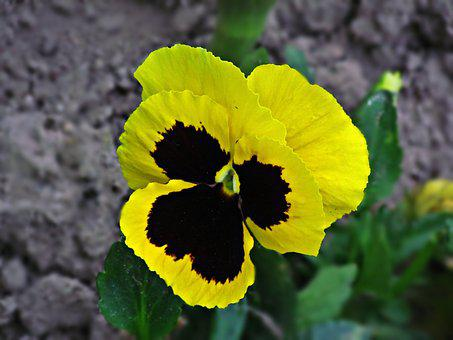 Pansies, Pansy, Flower, Flowers, Spring, Nature, Summer