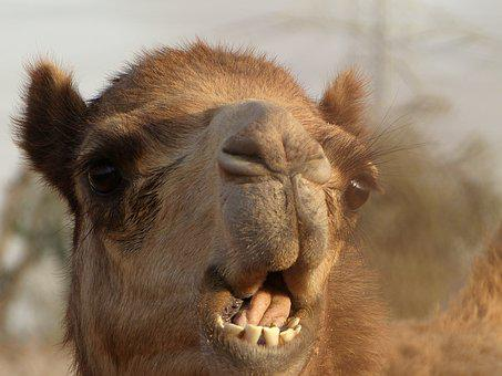 Emirates, Camel, Desert, Safari