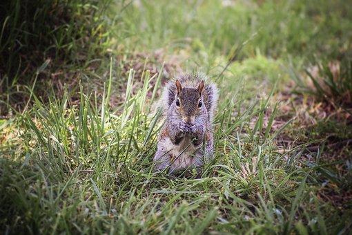 Squirrel, Animal, Furry, Fur, Tail, Nature, Wild, Cute