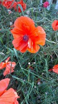 Colorado, Field, Nature, Poppy, Flower, Wildflower
