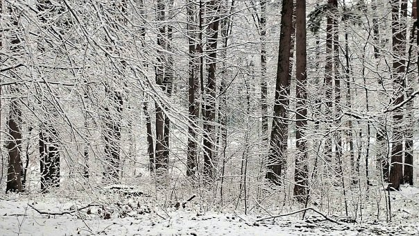 Frost, Winter, Snowy, Forest, Tree, Nature