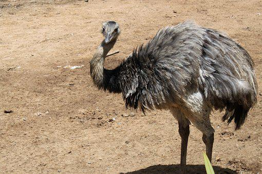 Ostrich, Nature, Zoo, Land Animal, Animals, Farm