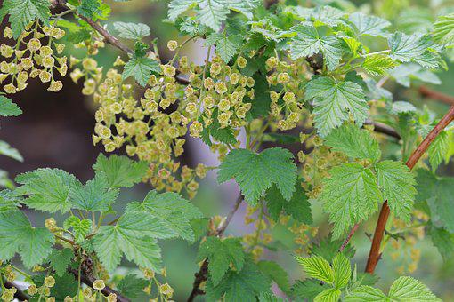 Spring, Currant, Nature, Green, Bloom, Living Nature