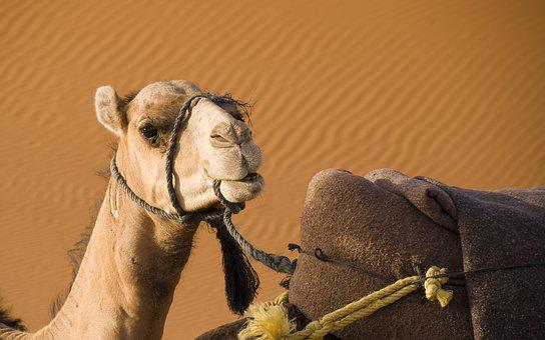 Camel, Desert, Morocco, Sahara, Sand, Dromedary