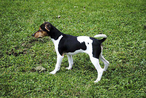 Jack Russell Terrier, Dog, Pet, Small Dog