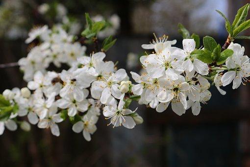 Flowers, Bloom, Tree, Spring, Flowering Trees, Branch