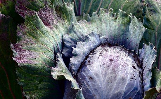 Red Cabbage, Blue Cabbage, Kohl, Food, Vegetables