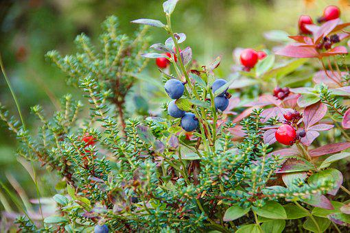 Forest, Nature, The Khibiny Mountains, Berry, Moss