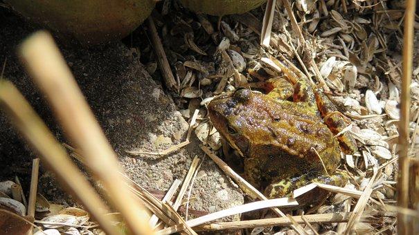 Nature, Pondedge, Frog
