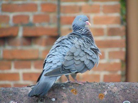 Homing Pigeon, Dove, Bird, Animal
