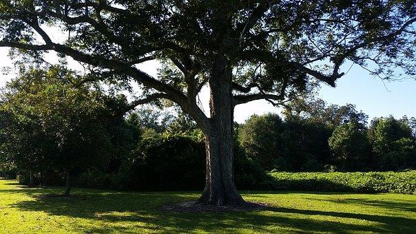 Tree, Beech, Pecan, Summer, Nature, Forest, Landscape