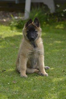 Belgian, Shepherd, Bitch, Pup, Sitting