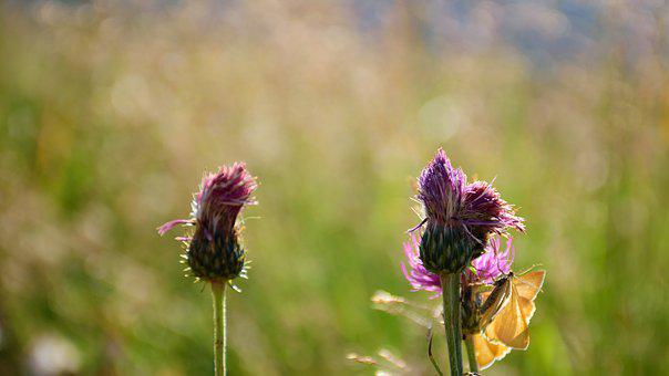 Flower, Nature, Thistle, Purple, Plant, Green