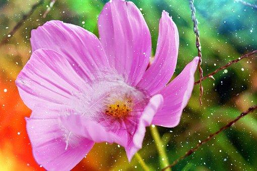 Dreams, Dreamy, Romantic, Flower, Cosmea, Pink, Spring