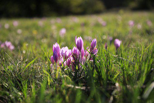 Saffron, Legally Protected, Flower, Autumn Crocus