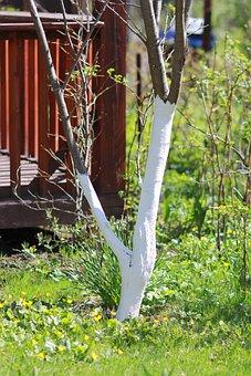 Spring, Whitewashing Of Trees, Whitewash, Garden
