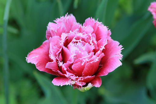 Tulip, Double Tulip, Dutch, The Dutch Tulip, Spring