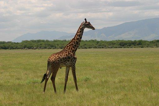 Giraffe, Tanzania, Africa, Safari, Savannah, Mammal