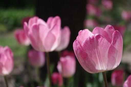 Tulip, Garden, Flower, Bloom, Blossom, Spring, Nature
