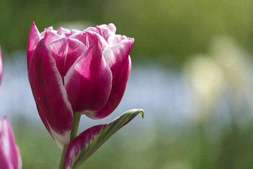 Tulip, Flower, Pink, Tulips, Flowers, Netherlands