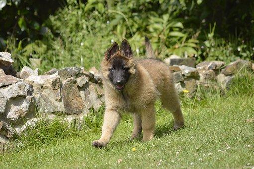 Belgian, Shepherd, Bitch, Pup, Walking