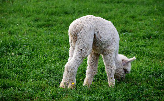 Alpaca, Baby Animal, Young, Small, Eat, Grass, Pasture