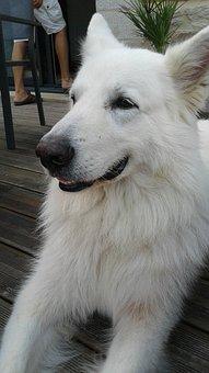 Swiss White Shepherd, Dog, Anima, Animals