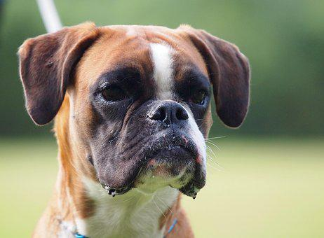 Boxer, German Boxer, Dog Look, Dog, Animal Portrait