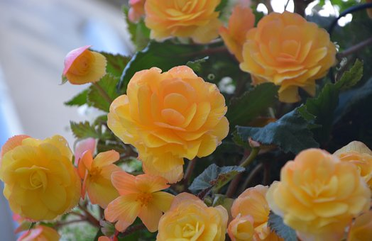 Flowers, Yellow Rose, Yellow Roses, Nature, Rosebush