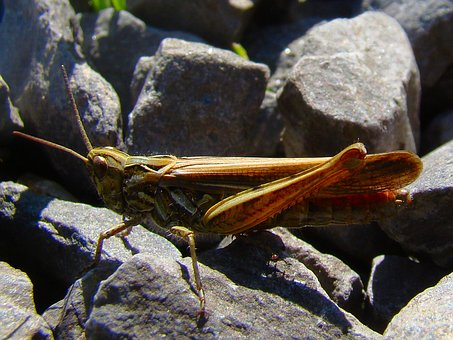 Grasshopper, Insect, Bug, Green, Nature, Wild, Wildlife