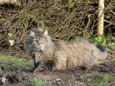 Norwegian Forest Cat, Long-haired Cat, Wild Cat
