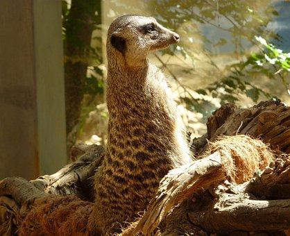 Meerkat, Mongoose, Guard, Supervisor