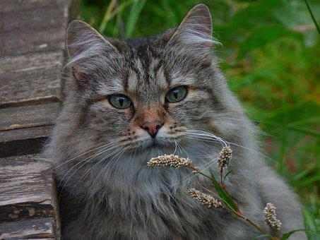 Norwegian Forest Cat, Cat Flowers, Long-haired Cat
